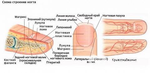 Образование подногтевой гематомы в результате ушиба связано с анатомическим особенностями строения пальцев