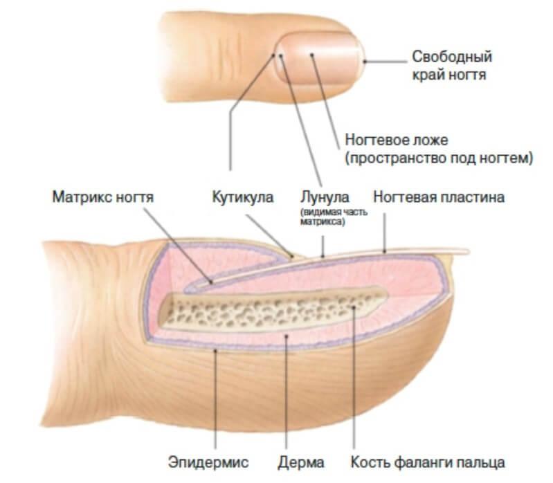 Строение ногтя для мастера маникюра
